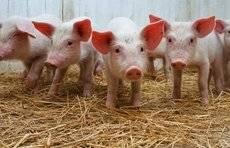 """杜绝泔水喂猪、严控人员进出…德州出台""""猪十条""""稳生产保供应"""