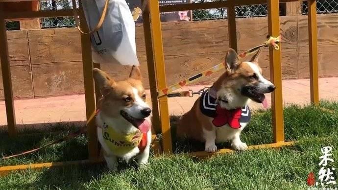 果然视频|200条柯基犬嗨翻宠物谷,花式玩转宠物文化节