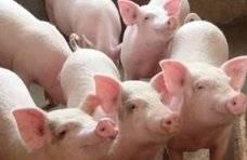 山东省猪肉价格连续4周回落,生猪产能持续恢复