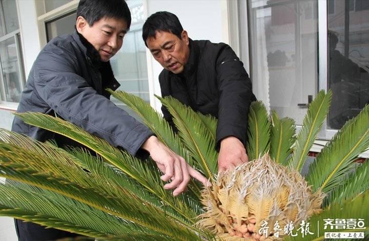 新春走基层|20多年前从济南买的铁树开花喜迎新年!