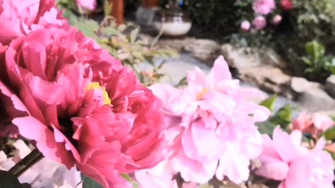 果然视频|罕见绿牡丹现身!泉城公园举办首届迎新春牡丹花卉展