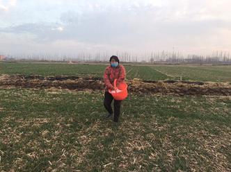 为了做好春管春种,明天有雨,鱼台县王庙镇的许多村民在给小麦