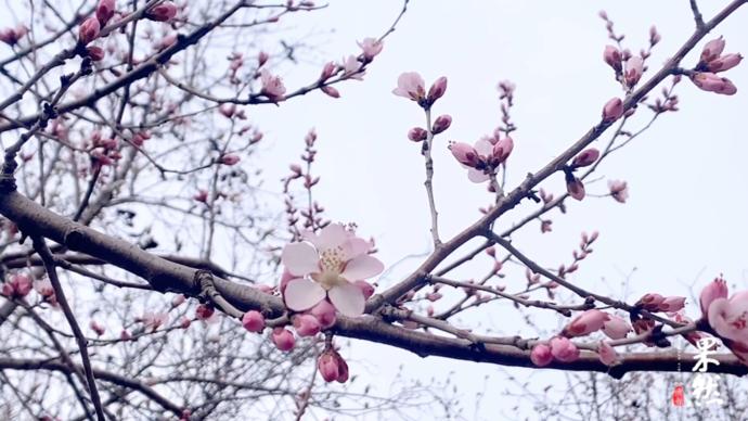 果然视频|玉兰桃花梨花竞相开放!泉城公园开园,春花迎市民
