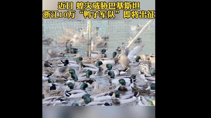 果然视频|浙江10万只鸭子出征巴基斯坦灭蝗,空运一天可抵达