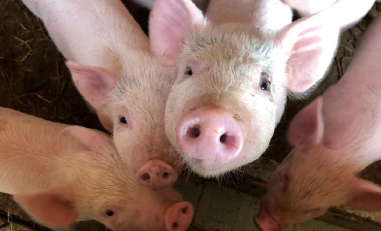 猪价大幅回落,养殖成本上升,育肥户高价购买仔猪风险加大