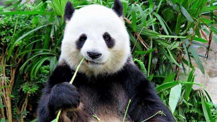 情报站|全球首位萌宠情报员熊猫二喜喊你来齐鲁壹点看新闻