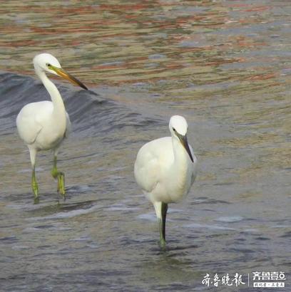 """12日,壹粉""""烟曦""""近距离用数码相机拍下了白鹭在海边浅水中抓小鱼吃的情景。还拍到了难得的一景,看到一只海鸥远远跟着三只白鹭,它们相互警惕,海鸥时不时地跟这三只白鹭""""套近乎""""。据了解,白鹭大多生活在南方河流泥滩小溪,对水质要求很高,它们能来烟台第一海水浴场觅食,证明现在海边的水质大有改观,希望今后像大天鹅这样的鸟也能光临……"""