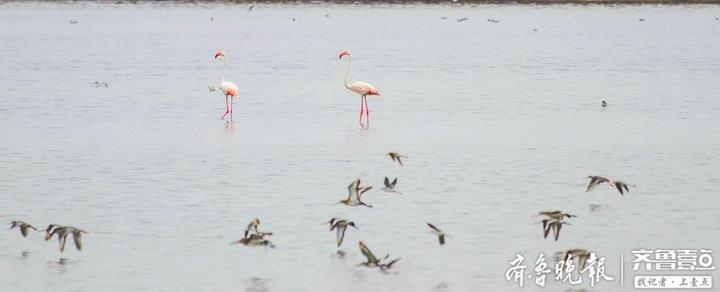超酷ins风!时隔三年,野生火烈鸟再现东营黄河入海口