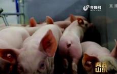 问政山东 生猪有价格指数保险,有的养殖户却不知情