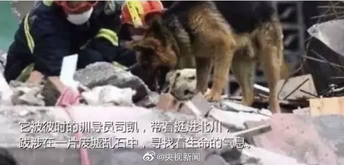 汶川地震最后一只搜救犬离世:曾救出15名幸存者,暴瘦十几斤