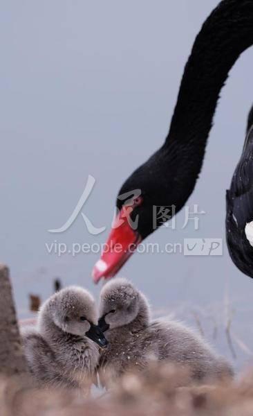 """山东滕州:黑天鹅夫妇喜添""""新丁"""""""