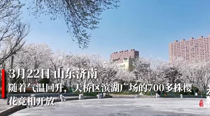 果然视频丨700多株樱花竞相开放,济南滨湖广场成网红打卡地
