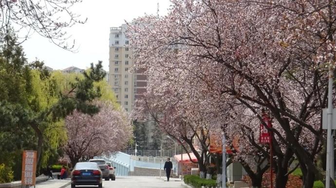 春风十里柔情,缱绻花枝轻颤!这是专属于青岛大学的春季气息