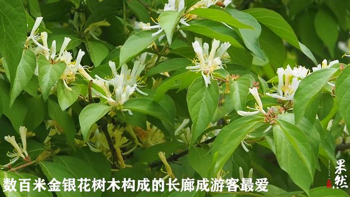 果然龙8|济南千佛山有条金银花长廊!花香四溢清脑明目