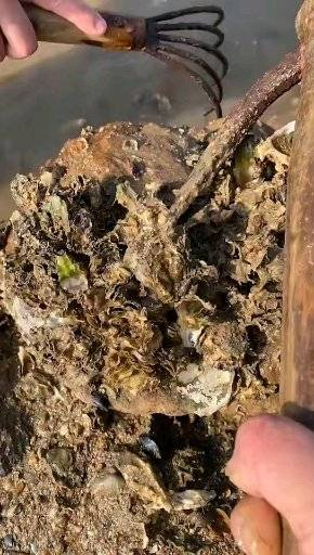 今天海边落大潮了,耙牡蛎了,初春时节的野生牡蛎是最肥的